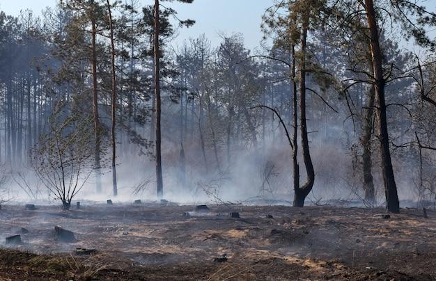 Wald nach dem brand mit verbrannten bäumen