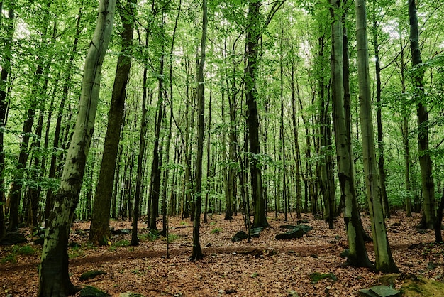 Waldbäume im sommertagesnaturhintergrund