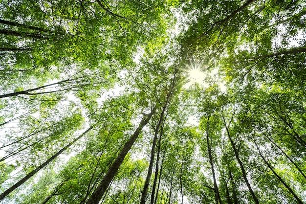 Waldbäume mit sonnenlicht