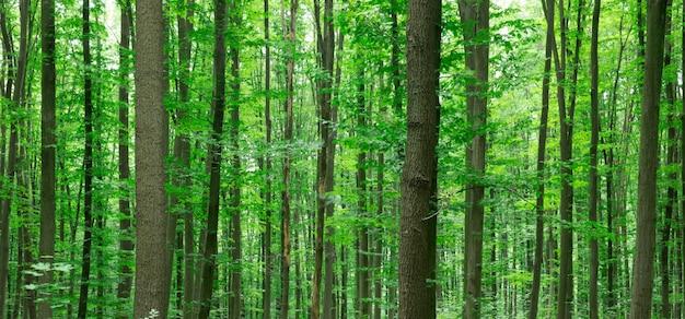 Waldbäume. natur grünes holz sonnenlicht hintergründe