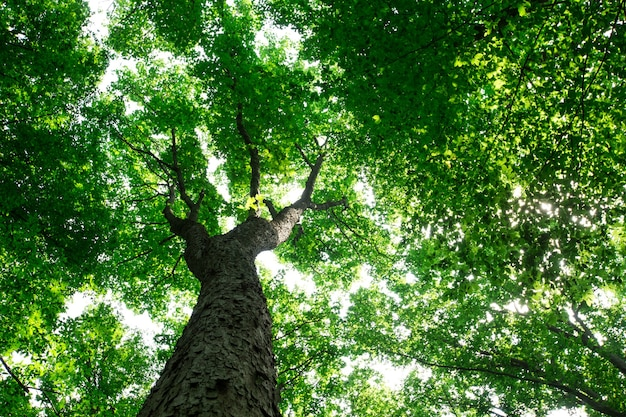 Waldbäume. natur grünes holz sonnenlicht