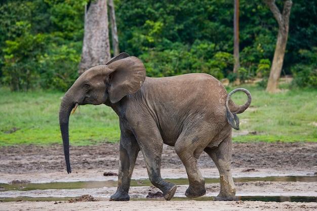 Waldelefant im waldrand. republik kongo. dzanga-sangha special reserve. zentralafrikanische republik.
