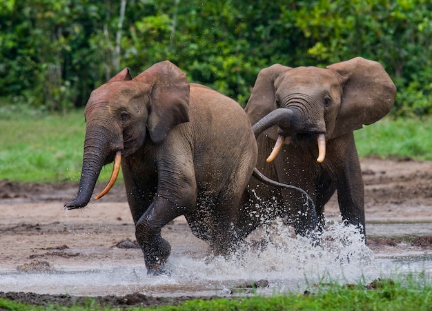 Waldelefanten spielen miteinander. zentralafrikanische republik. republik kongo. dzanga-sangha special reserve.