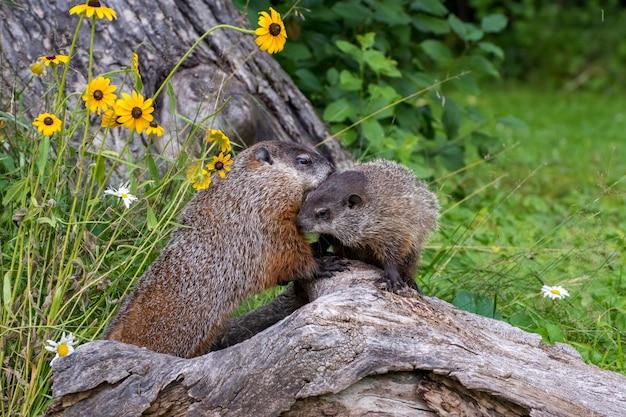 Waldmurmeltier mutter begrüßt ihren jungen während einer morgenerkundung