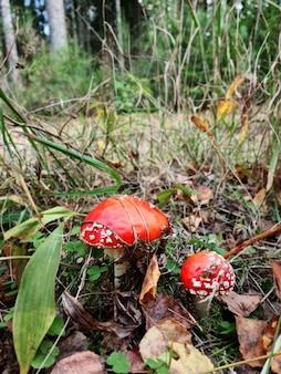 Waldpilz mit sonnenlicht in einem herbstwald. giftpilz der amanita. suche nach pilzen im wald. konzept der waldpilze.
