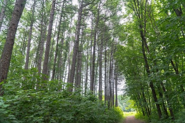Waldweg und baumkronen im wald