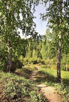 Waldweg zwischen frühlingsbirken