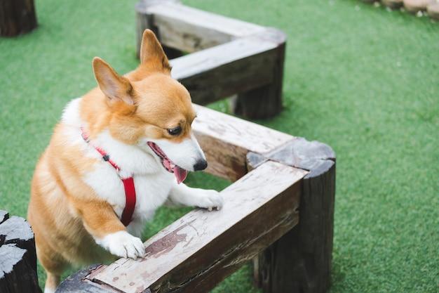 Walisischer corgi pembroke hund
