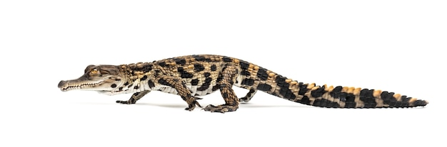 Walking young westafrikanisches krokodil mit schlanker schnauze, mecistops cataphractus, isoliert auf weiß
