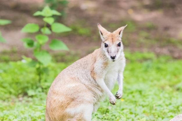 Wallaby, ein australasiatisches beuteltier, das einem känguru ähnlich, aber kleiner ist.