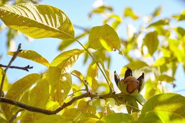 Walnussbaum mit reifer walnussfruchternte auf zweig