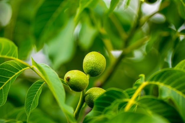 Walnussbaum wachsen warten.