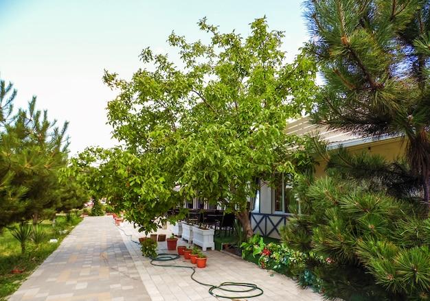 Walnussbaum wächst im hof des südlichen cafés.