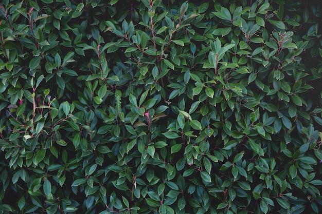 Wand bedeckt mit üppigen grünen blättern. natürlicher hintergrund.