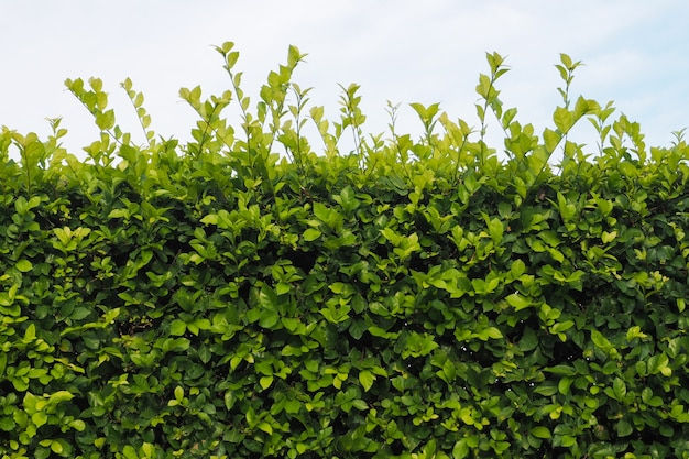 Wand grüner baum die spitze ist der himmel.