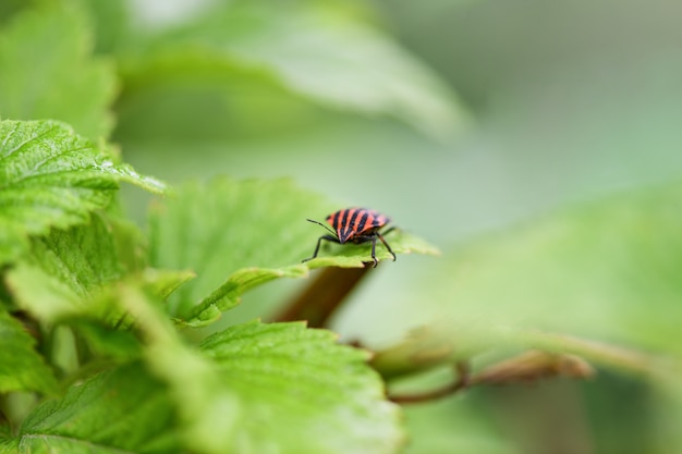 Wanze mit den roten und schwarzen streifen, die auf einem grünen blatt sitzen