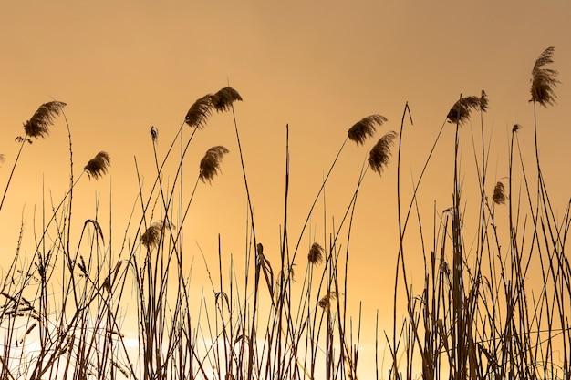 Warme goldene abendsonnenuntergang-schilfnaturlandschaft