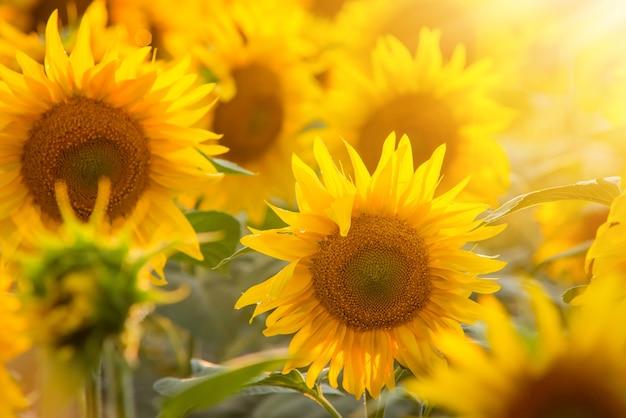 Warmes helles sonnenlicht auf herrlichen gelben sonnenblumen in voller blüte an einem sommertag