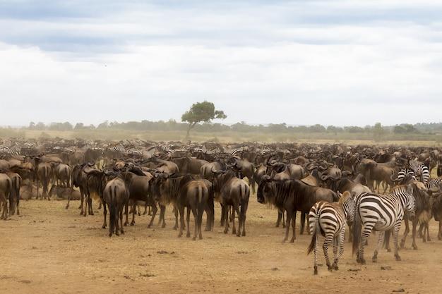 Warten auf die überquerung ansammlung von huftieren am ufer des mara-flusses kenia, afrika Premium Fotos