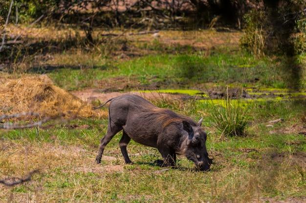 Warzenschwein, das gras im kruger-naturreservat auf einer afrikanischen safari isst