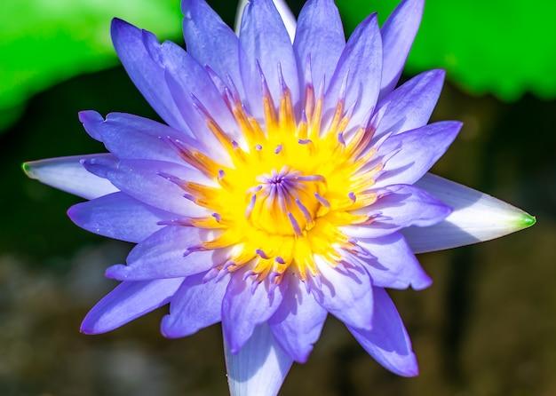 Wasser der blauen lilie oder lotosblume im becken sehr frisch