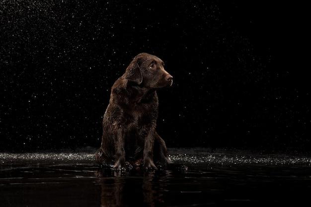 Wasser spritzt porträt von schokoladenfarbenem großen labrador-hund, der baden spielt