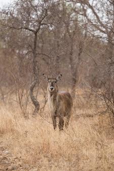 Wasserbock im gebüsch. südafrika