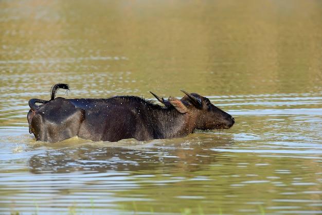 Wasserbüffel baden in einem see in sri lanka