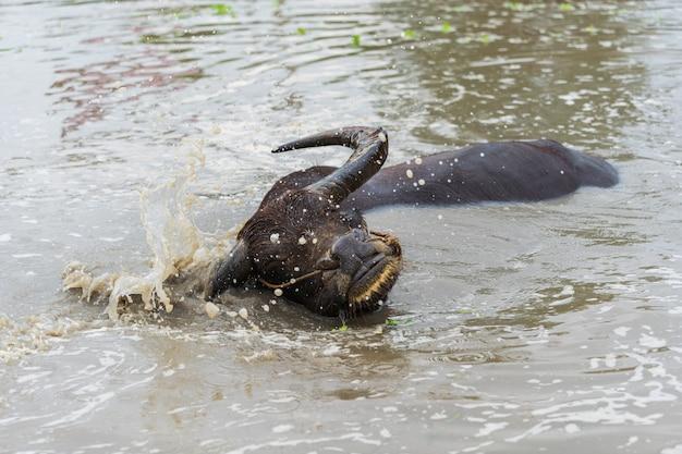 Wasserbüffel, der das wasser spritzt im teich spielt