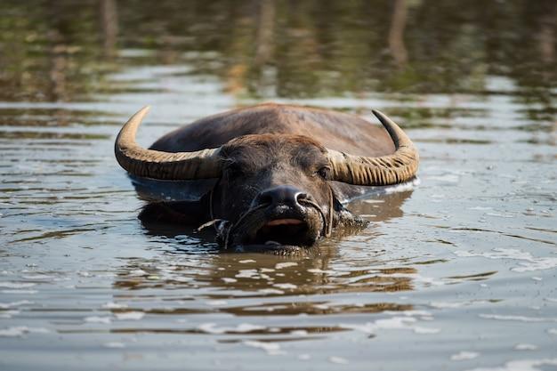 Wasserbüffel, der graslebensmittel auf wasser kaut