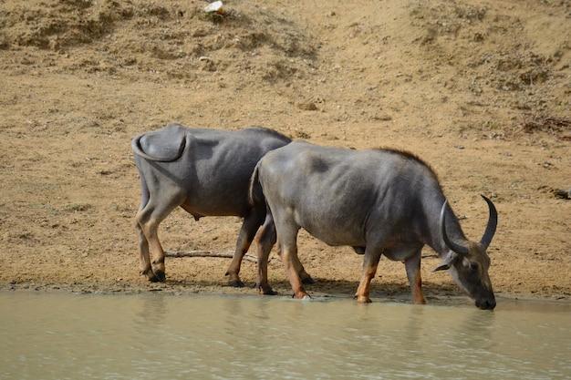 Wasserbüffel in yala national park, sri lanka