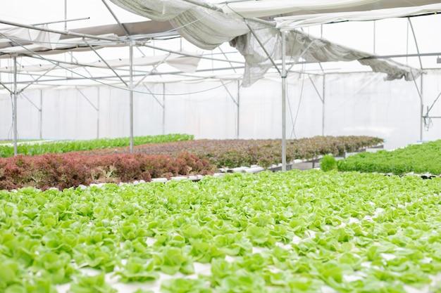 Wasserkultur des kopfsalatbauernhofes wachsend im gewächshaus.
