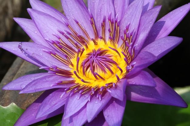 Wasserlilie lotus
