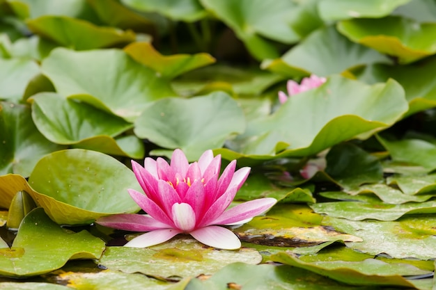 Wasserlilien