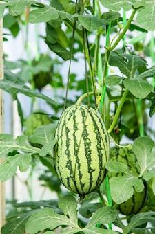 Wassermelone auf feld im gewächshaus.