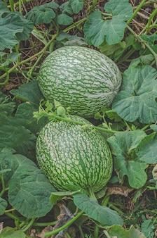 Wassermelone und ein kürbiskreuz