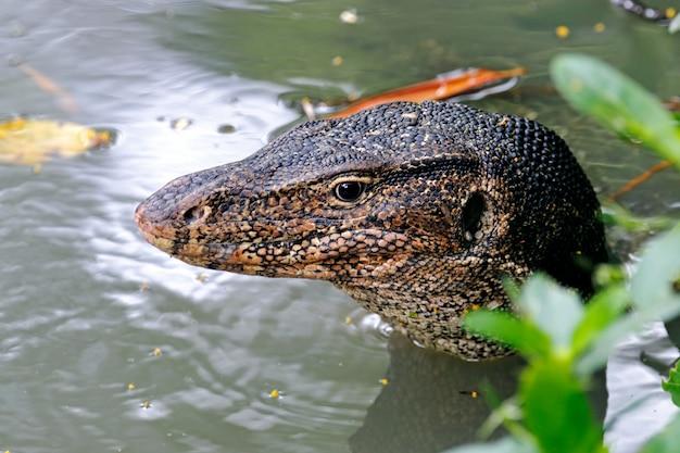Wassermonitor lizard varanus salvator entspannt im wasser sein