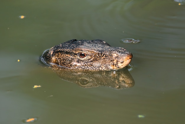 Wassermonitor lizard varanus salvator im wasser entspannt sein