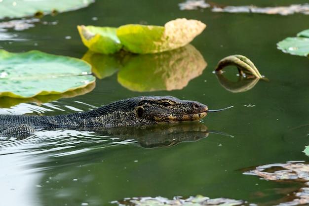 Wassermonitor (varanus salvator) mit lotusblättern im teich