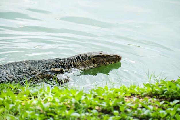 Wassermonitor (varanus salvator) schwimmt im teich.