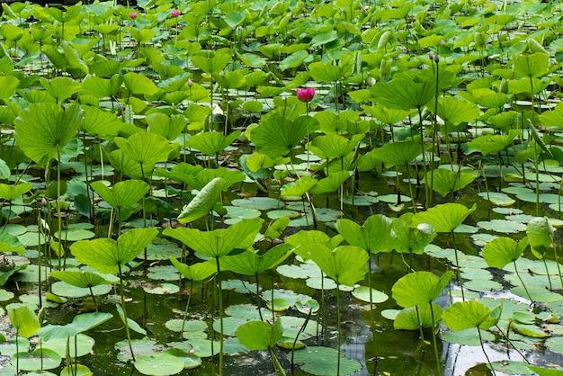 Wasserpflanzen mit blumen in einem teich