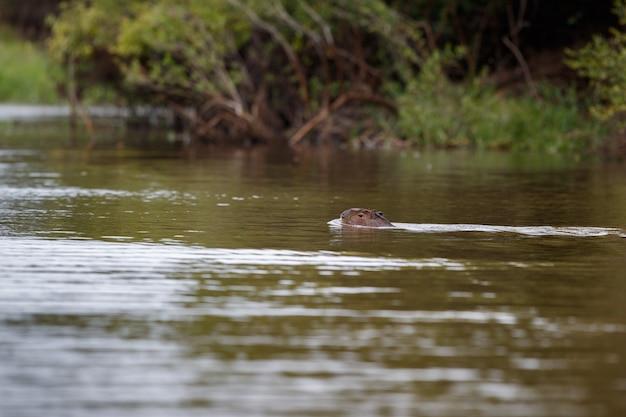 Wasserschwein im naturlebensraum des nördlichen pantanal