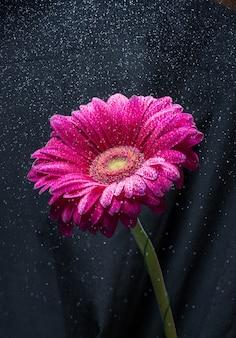 Wasserspray über roter gerberablume, schwarzer hintergrund