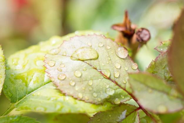 Wassertropfen auf einem grünen blatt, nasse rosenblätter nach dem regen