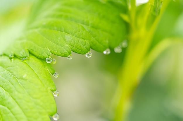 Wassertropfen auf einem grünen erdbeerblatt
