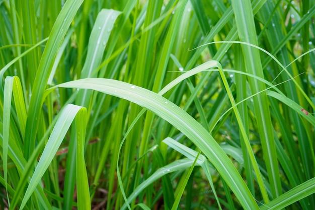 Wassertropfen auf frischer zitronengraspflanze