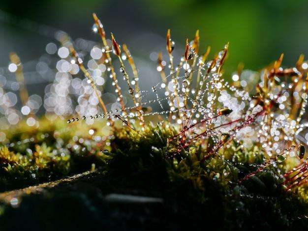 Wassertropfen auf stämmen des mooses im wald nach regen.