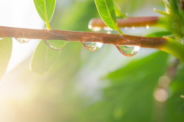 Wassertropfen des baumasts. tautropfen nach dem regen mit sonnenlicht