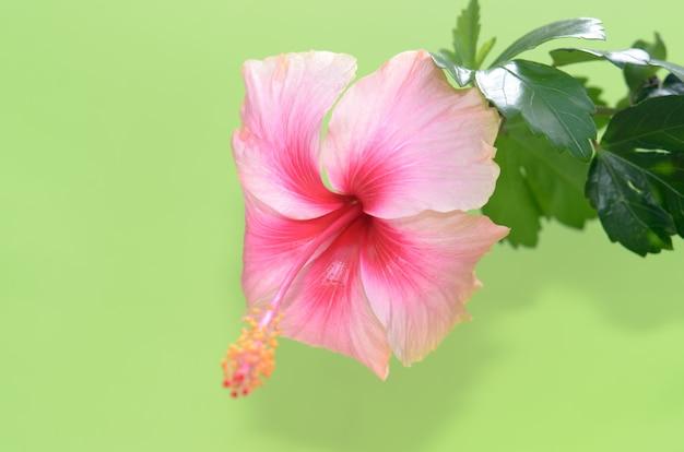 Wassertropfen hibiskusblüte