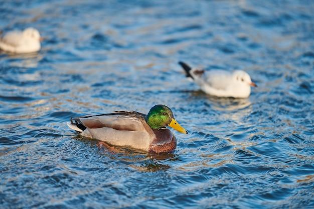 Wasservogelvögel - männliche stockente und möwen im fluss oder teich.